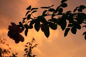 silhouette of a branch with a rose at sunset