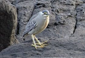 little heron on a rock