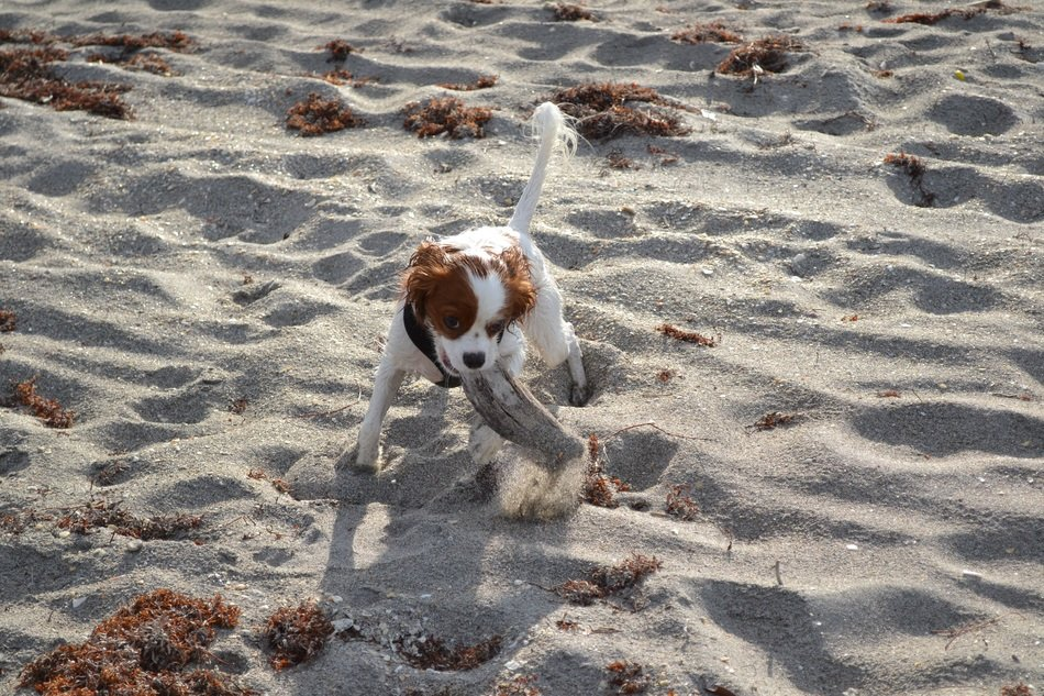King Charles on the sand