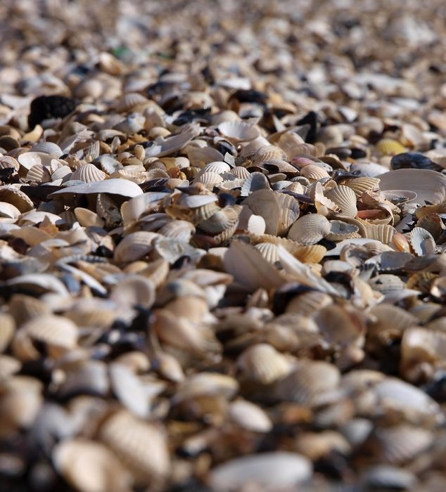 mussel shells as a beach close-up