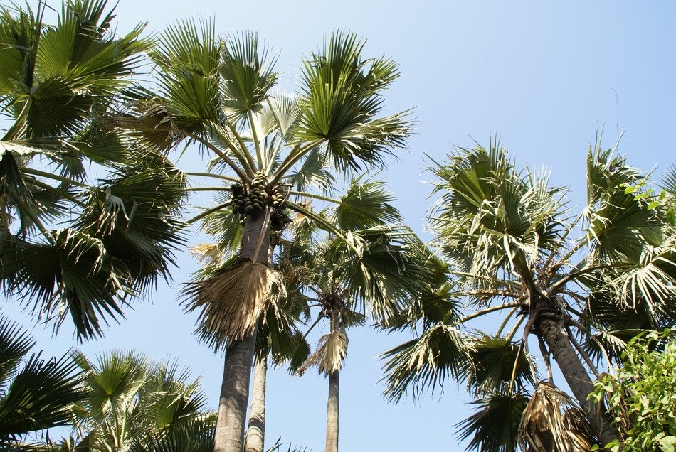 green palm trees under the blue sky