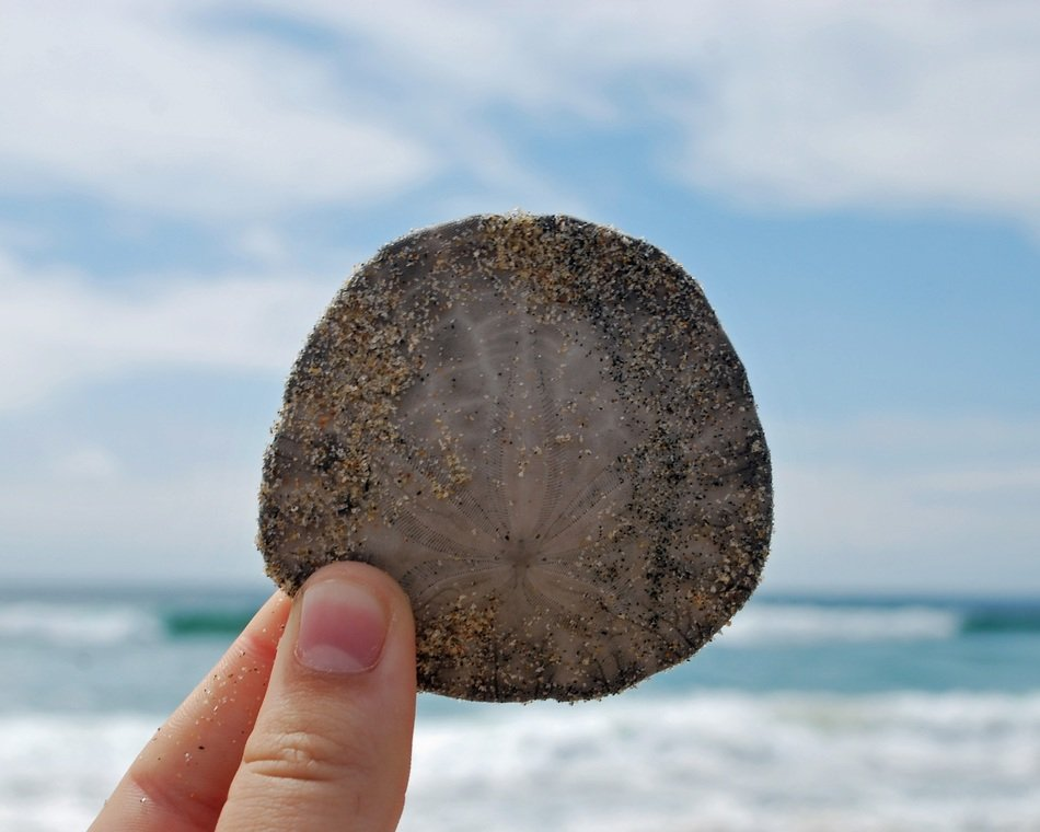 Holding sand dollar in the hand