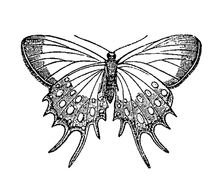butterfly, black and white drawing