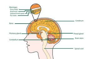 Labeled Human Brain Diagram drawing
