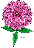 Hot Pink Flower drawing