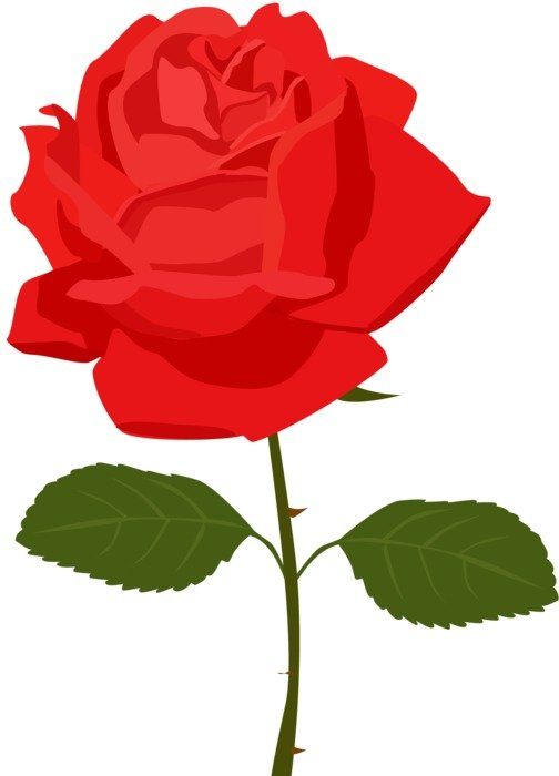 single red rose on the white background