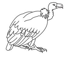 Big White Vulture drawing