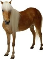 brown horse with a white mane on a white background