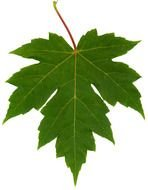 isolated green maple leaf