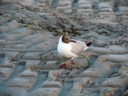 lonely black headed gull