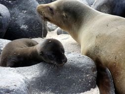 pup mother sea lion baby bond