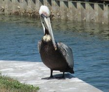 very beautiful pelican bird