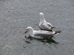 two seagulls on the water close-up