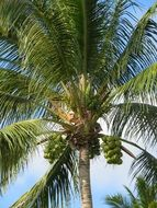 green coconut on top of palm tree