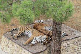 tigers zoo sleep