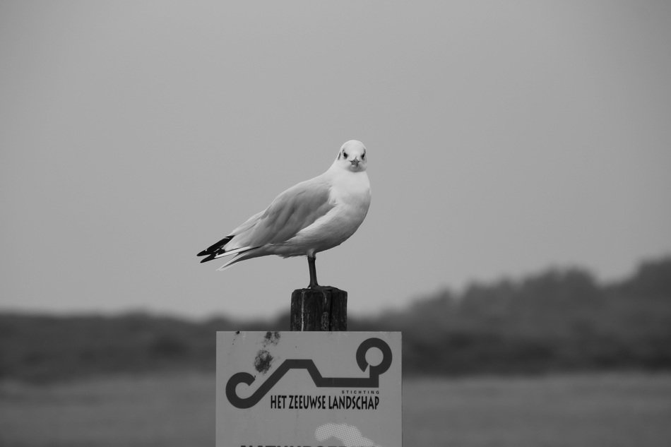 Black and white photo with the seagull in Zeeland