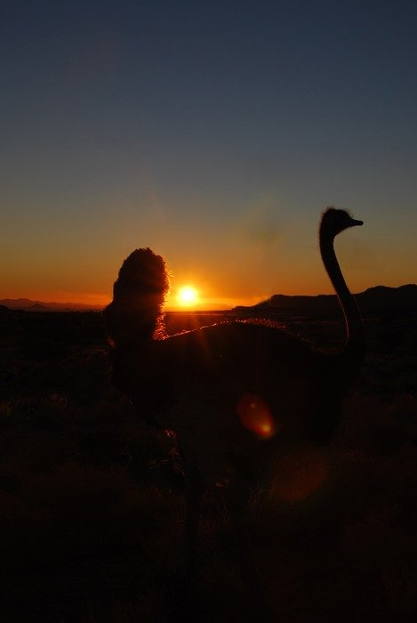 silhouettes of ostriches on a sunset background