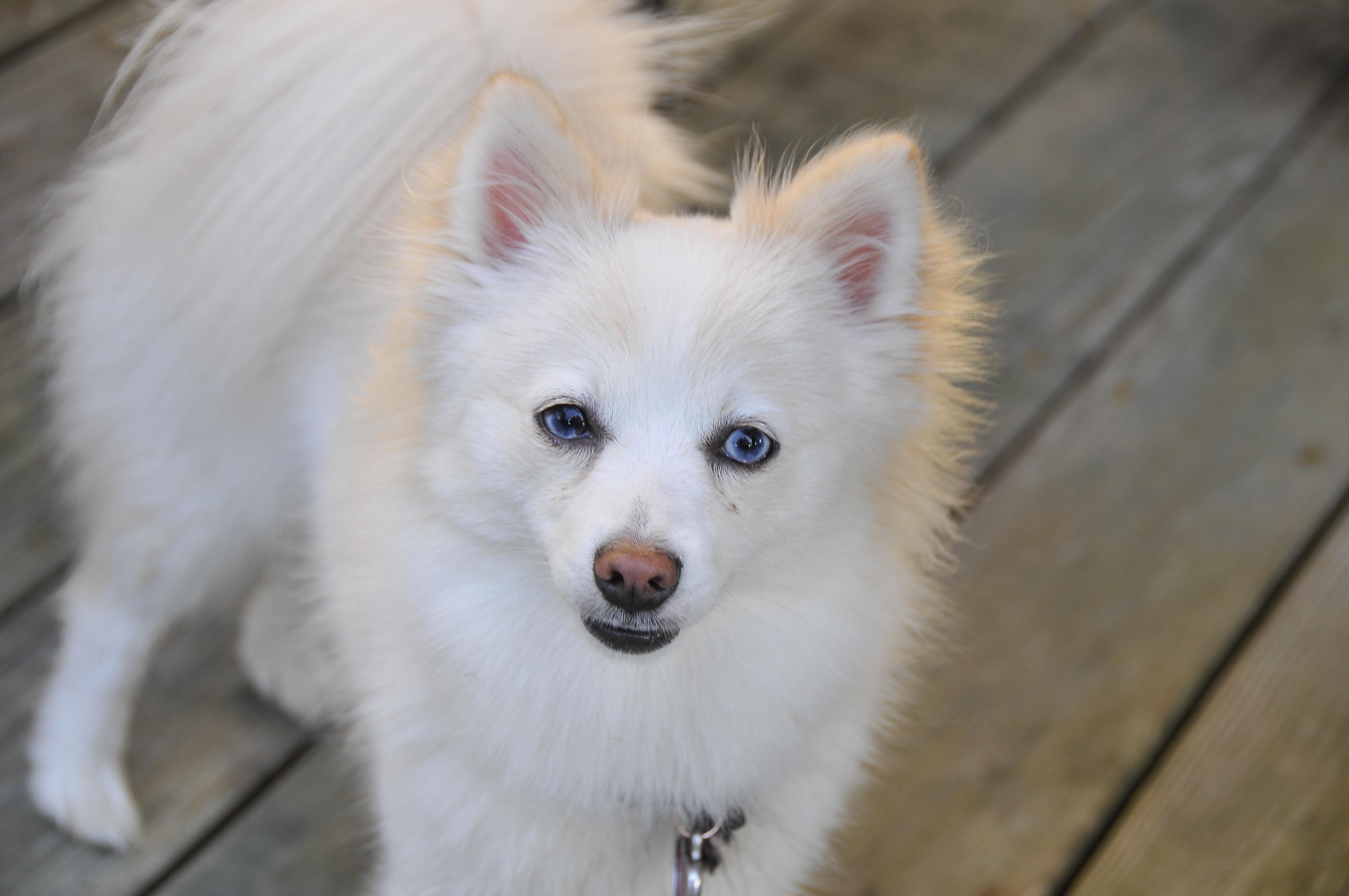 White Fluffy Pomeranian Dog Free Image