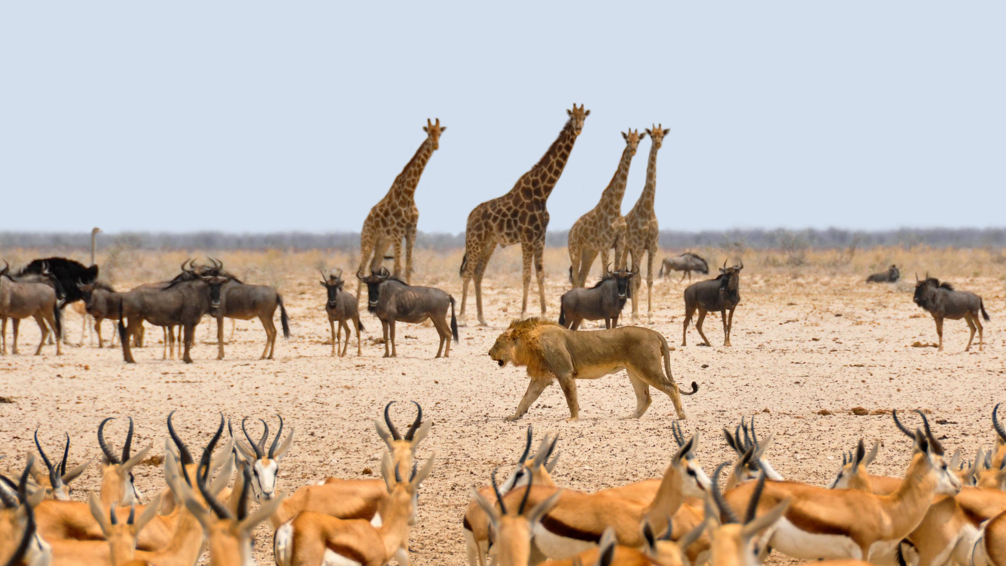 Thirsty Giraffes, Etosha National Park, Namibia  № 1442780 загрузить