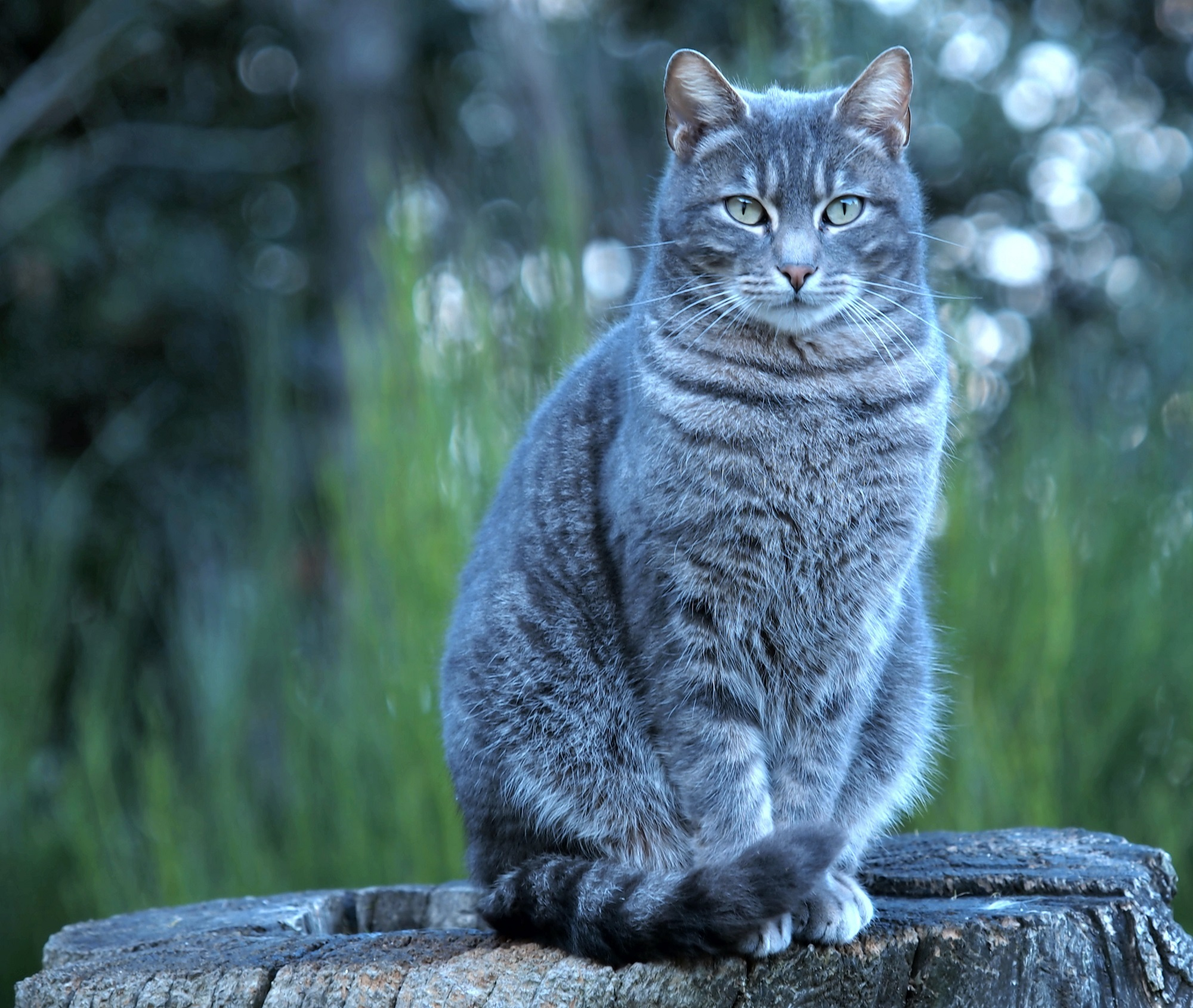 Grey Tabby Cat Sits On Tree Stump Outdoor Free Image