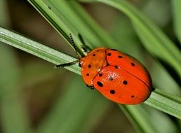 Lady bird on a grass