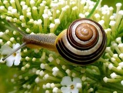 garden snail in close-up