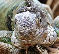 big iguana close up