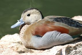 Beautiful mandarin duck near the pond