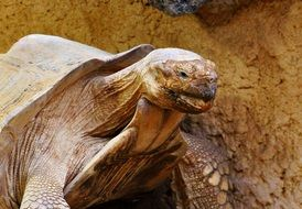 giant tortoise in wildlife