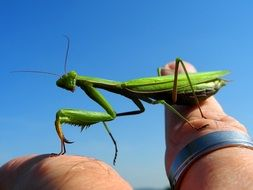 green mantis on a finger