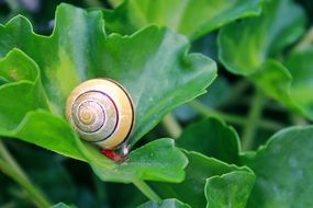 snail is crawling on the green leaf