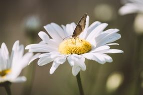 Butterfly on the marguerite