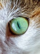 The wonderfull green eye of domestic cat