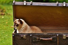 British shorthair cat sits in a suitcase