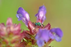stinging wasp on a purple flower
