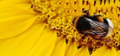 The single hummel on the yellow sunflower