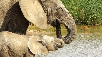 two elephants drink water from the river