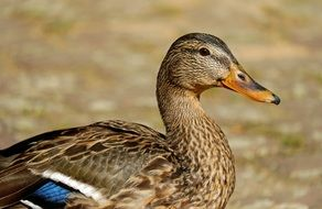 brown spotted duck close up