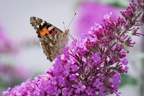 butterfly on summer lilac