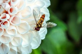 Hover Fly Insect Animal Fly
