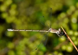 Damselfly Insect wildlife close portrait
