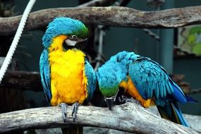 Blue-And-Yellow Macaws Parrots