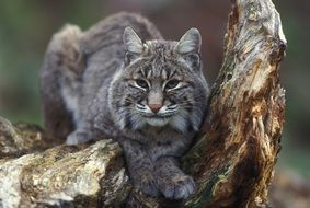 gray lynx sits on a tree in the wild