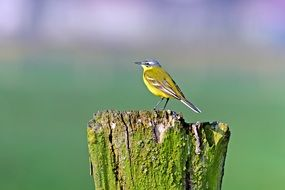 Yellow Wagtail Songbirds