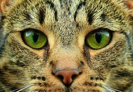close-up cat face with green eyes