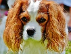 lovely Dog Cavalier