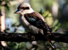 Kookaburra tropical Bird