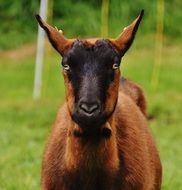 brown-black goat