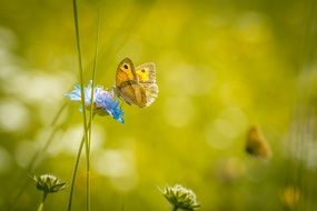 orange butterfly on a blue meadow flower