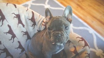 perfect beautiful Puppy French Bulldog